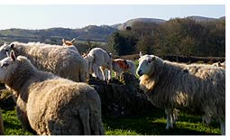 Sheep at Brynhir Farm.
